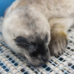 Timbit: First Seal Pup Patient of 2016