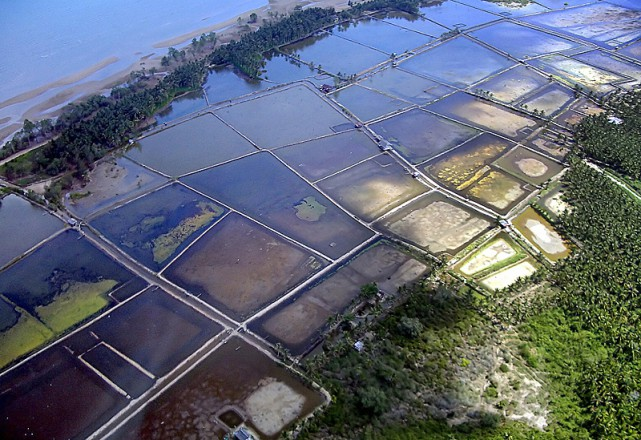 Traditional shrimp farming comes along with a fair share of environmental issues. Photo credit: Ellen Hines