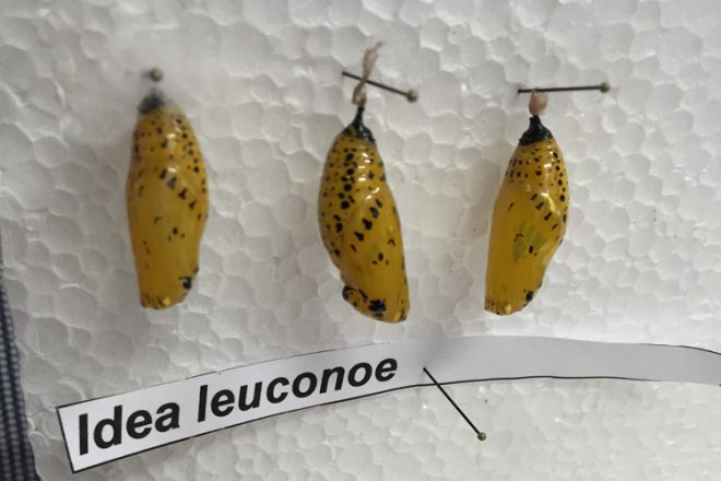 Each pupa is pinned through the silk threads at the top and spaced with enough room for them to emerge from their chrysalis simultaneously.