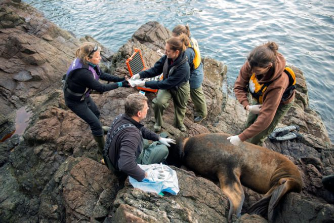 The Aquarium's first sea lion disentanglement in 2013. Photo credit: Neil Fisher.