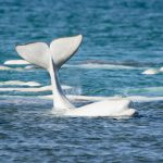 New Commitments To Beluga Conservation Research