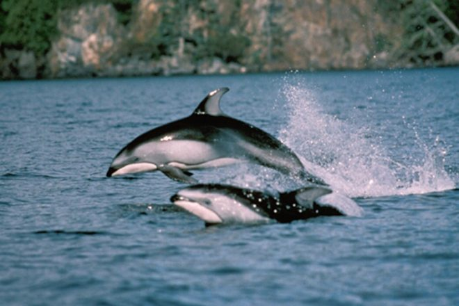 Photo of a Pacific white-sided dolphin taken by John Ford during his research.