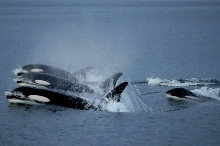 John Ford blog- Killer-whales-one-type-of-cetacean-that-can-be-spotted.Photo-Credit-Vancouver-Aquarium2
