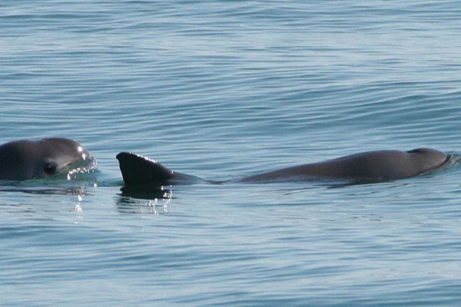 "The vaquita is the world's smallest cetacean. Its name means ""little cow"" in Spanish."