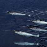 Narwhal Study: Narwhals in Abundance