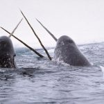Narwhal Study: Back in Tremblay Sound