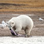 Arctic August: Spotting Polar Bears