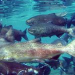 Changing Tides: New Assessments for Chinook and Coho Salmon