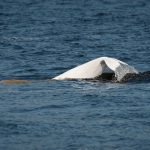 Unravelling the Mystery of Endangered Beluga Whales