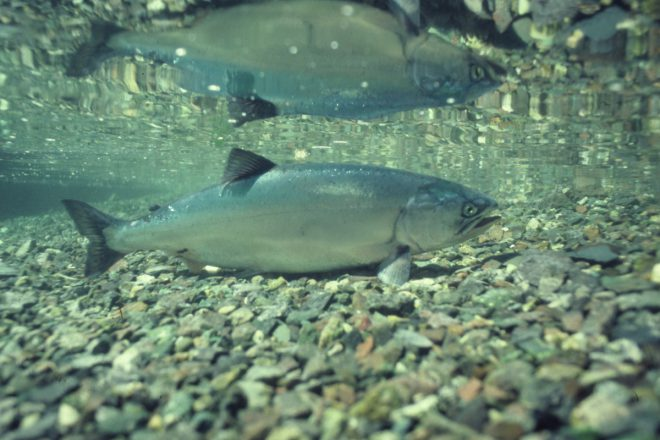 Salmon play an important role in their native ecosystems.