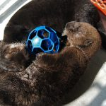 Welcome Two Rescued Alaskan Sea Otter Pups