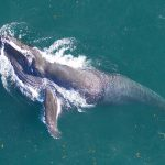 "How ""Snot"" Samples Help Us Protect Whales"