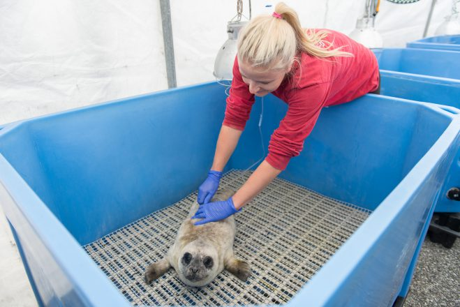 Timbit, the Rescue Centres first seal patient of 2016.