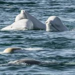 Robin Ganzert: We need to protect Canada's endangered whale populations
