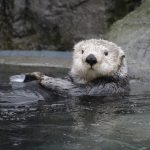 Rescued Sea Otters Pups Meet Tanu