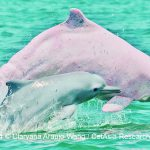 Taiwan's White Dolphins on the Brink