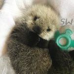 Tiny Male Otter Pup Patient in our Care