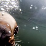 Come Nose To Snout With Steller Sea Lions at Steller's Bay