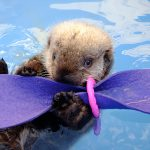 Rescued Sea Otter Pup Hardy Moves Into Nursery At Vancouver Aquarium