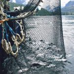 Changing Tides In The Salmon Industry