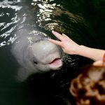 Rescued Beluga Calf Update