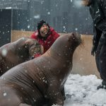 Vancouver Aquarium Welcomes Walruses Lakina and Balzak