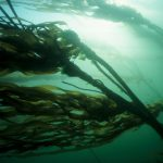 Shedding Light on the Local Kelp Environment