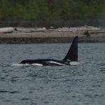 Bigg's Killer Whales Hunting Seals in Vancouver Harbour