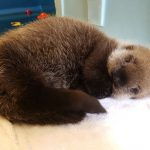 Rescued Northern sea otter Tazlina jets in from Alaska