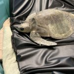 'Berni' the tropical sea turtle slowly warms to new MMRC environment