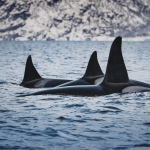A Mother's Love: Killer Whale Culture