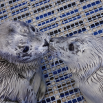 Seal-ed with a kiss: Couples wild about volunteering spend quality time at Vancouver Aquarium's Marine Mammal Rescue Centre