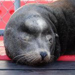 """'Archie"""" Who Was Discovered Suffering Gruesome Injuries From Crossbow & Gunshots Released Back To Ocean"""