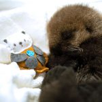 Orphaned 10-Day-Old Sea Otter Pup 'Joey' In Care at Ocean Wise   Marine Mammal Rescue Centre
