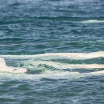 What's in a name? Studying the calls of wild belugas