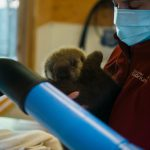 Orphaned Otter Pup, Deemed Non-Releasable, Finds New Home with Rescued Otters at Vancouver Aquarium